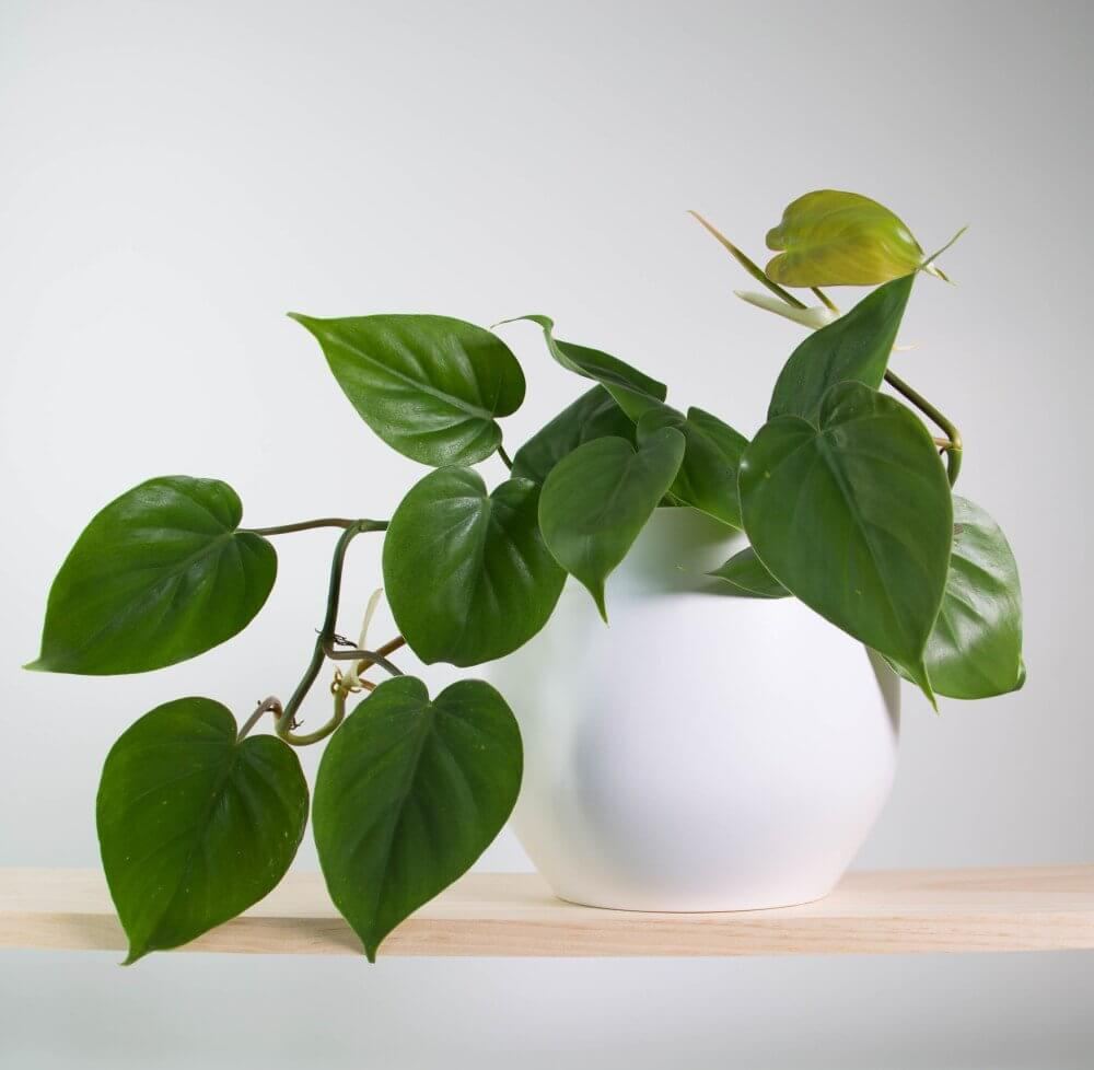 Heartleaf-Philodendron-.jpg