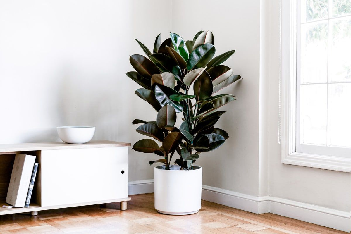 rubber-tree-plant.jpg